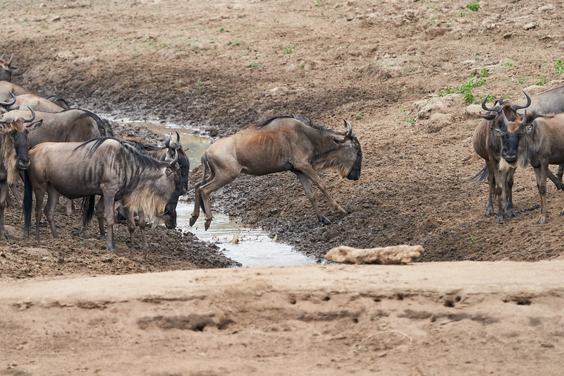 Wildebeest_Mini_Crossing_Rekero_Mara_Reserve_2018_Kenya_0110