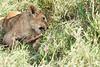 Yaya_Cubs_Eating_Lion_Marsh_Tangulia_Mara_Reserve_2018_Kenya_0132