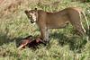 Yaya_Cubs_Eating_Lion_Marsh_Tangulia_Mara_Reserve_2018_Kenya_0151