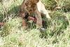 Yaya_Cubs_Eating_Lion_Marsh_Tangulia_Mara_Reserve_2018_Kenya_0120