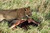 Yaya_Cubs_Playing_Lion_Marsh_Tangulia_Mara_Reserve_2018_Kenya_0054