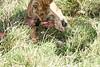 Yaya_Cubs_Eating_Lion_Marsh_Tangulia_Mara_Reserve_2018_Kenya_0121