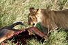 Yaya_Cubs_Eating_Lion_Marsh_Tangulia_Mara_Reserve_2018_Kenya_0144