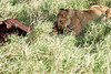 Yaya_Cubs_Eating_Lion_Marsh_Tangulia_Mara_Reserve_2018_Kenya_0117