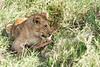 Yaya_Cubs_Eating_Lion_Marsh_Tangulia_Mara_Reserve_2018_Kenya_0135