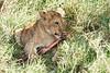 Yaya_Cubs_Eating_Lion_Marsh_Tangulia_Mara_Reserve_2018_Kenya_0129