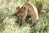 Yaya_Cubs_Eating_Lion_Marsh_Tangulia_Mara_Reserve_2018_Kenya_0143