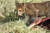 Yaya_Cubs_Eating_Lion_Marsh_Tangulia_Mara_Reserve_2018_Kenya_0150