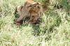 Yaya_Cubs_Eating_Lion_Marsh_Tangulia_Mara_Reserve_2018_Kenya_0122