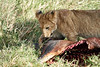 Yaya_Cubs_Eating_Lion_Marsh_Tangulia_Mara_Reserve_2018_Kenya_0148