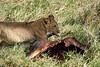 Yaya_Cubs_Playing_Lion_Marsh_Tangulia_Mara_Reserve_2018_Kenya_0053