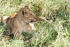 Yaya_Cubs_Eating_Lion_Marsh_Tangulia_Mara_Reserve_2018_Kenya_0139