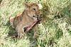 Yaya_Cubs_Eating_Lion_Marsh_Tangulia_Mara_Reserve_2018_Kenya_0128
