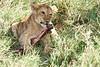 Yaya_Cubs_Eating_Lion_Marsh_Tangulia_Mara_Reserve_2018_Kenya_0127
