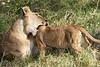Yaya_Cubs_Playing_Lion_Marsh_Tangulia_Mara_Reserve_2018_Kenya_0110