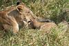 Yaya_Cubs_Playing_Lion_Marsh_Tangulia_Mara_Reserve_2018_Kenya_0120