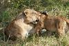 Yaya_Cubs_Playing_Lion_Marsh_Tangulia_Mara_Reserve_2018_Kenya_0106