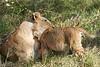Yaya_Cubs_Playing_Lion_Marsh_Tangulia_Mara_Reserve_2018_Kenya_0114