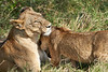 Yaya_Cubs_Playing_Lion_Marsh_Tangulia_Mara_Reserve_2018_Kenya_0143