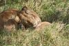 Yaya_Cubs_Playing_Lion_Marsh_Tangulia_Mara_Reserve_2018_Kenya_0124