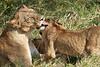 Yaya_Cubs_Playing_Lion_Marsh_Tangulia_Mara_Reserve_2018_Kenya_0141