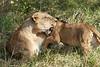 Yaya_Cubs_Playing_Lion_Marsh_Tangulia_Mara_Reserve_2018_Kenya_0107
