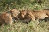Yaya_Cubs_Playing_Lion_Marsh_Tangulia_Mara_Reserve_2018_Kenya_0128