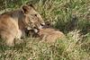 Yaya_Cubs_Playing_Lion_Marsh_Tangulia_Mara_Reserve_2018_Kenya_0118