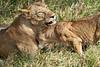 Yaya_Cubs_Playing_Lion_Marsh_Tangulia_Mara_Reserve_2018_Kenya_0135