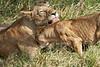 Yaya_Cubs_Playing_Lion_Marsh_Tangulia_Mara_Reserve_2018_Kenya_0133