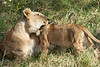 Yaya_Cubs_Playing_Lion_Marsh_Tangulia_Mara_Reserve_2018_Kenya_0109