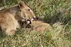 Yaya_Cubs_Playing_Lion_Marsh_Tangulia_Mara_Reserve_2018_Kenya_0116