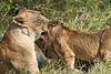 Yaya_Cubs_Playing_Lion_Marsh_Tangulia_Mara_Reserve_2018_Kenya_0137