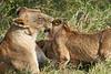 Yaya_Cubs_Playing_Lion_Marsh_Tangulia_Mara_Reserve_2018_Kenya_0138