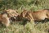Yaya_Cubs_Playing_Lion_Marsh_Tangulia_Mara_Reserve_2018_Kenya_0126