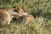 Yaya_Cubs_Playing_Lion_Marsh_Tangulia_Mara_Reserve_2018_Kenya_0121