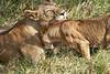 Yaya_Cubs_Playing_Lion_Marsh_Tangulia_Mara_Reserve_2018_Kenya_0131