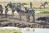Zebra_Mara_Reserve_2018_Kenya_0161