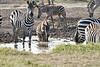 Zebra_Mara_Reserve_2018_Kenya_0187