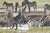 Zebra_Mara_Reserve_2018_Kenya_0170
