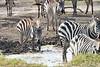 Zebra_Mara_Reserve_2018_Kenya_0176