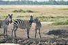 Zebra_Mara_Reserve_2018_Kenya_0196