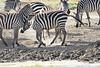 Zebra_Mara_Reserve_2018_Kenya_0163