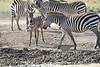 Zebra_Mara_Reserve_2018_Kenya_0168