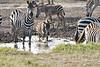 Zebra_Mara_Reserve_2018_Kenya_0188