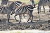 Zebra_Mara_Reserve_2018_Kenya_0164