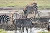 Zebra_Mara_Reserve_2018_Kenya_0192