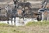 Zebra_Mara_Reserve_2018_Kenya_0189