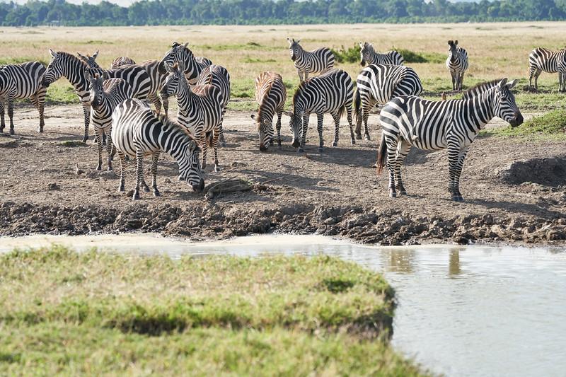 Zebra_Mara_Reserve_2018_Kenya_0159