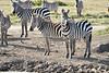 Zebra_Mara_Reserve_2018_Kenya_0162